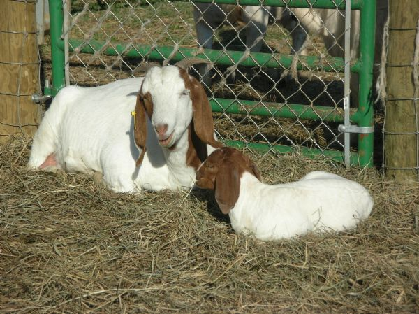 OWO KISSES - Boer Goat Doe
